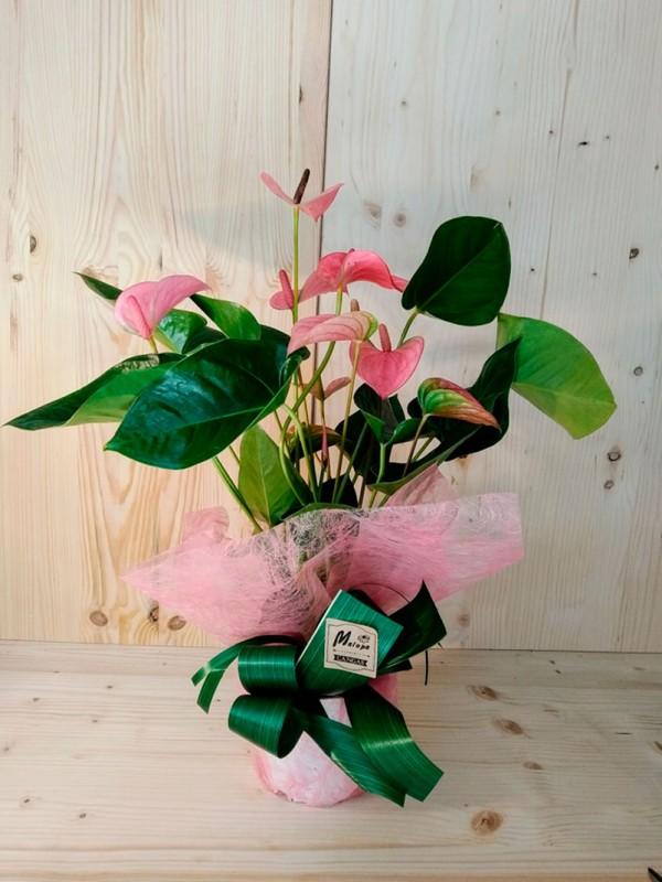 Planta de regalo Anturio