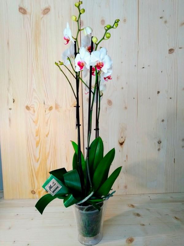 Orquídea blanca y morada en maceta